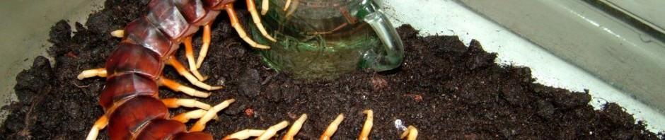 Сколопендра гигантская (лат. Scolopendra gigantea)