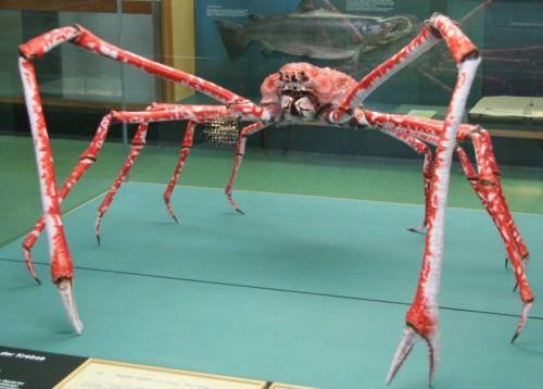 Японский краб-паук или гигантский краб (лат.Macrocheira kaempferi) (англ. Giant spider crab)