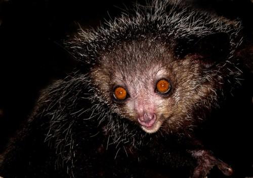 Айе-айе или руконожка Мадагаскарская (лат. Daubentonia madagascariensis) (англ. Aye-aye)