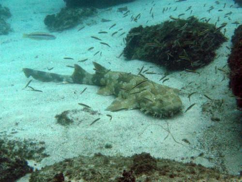 Пятнистая бородатая акула или вобегонг (лат. Orectolobus maculatus) (англ. Wobbegong)
