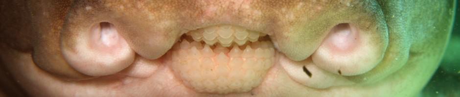 Бычья акула или рогатая акула, разнозубая акула (лат. Heterodontidue)