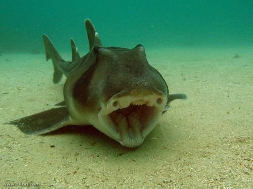 Бычья акула или рогатая акула, разнозубая акула (лат. Heterodontidue)(англ. Port Jackson shark)