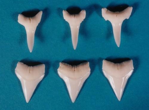 Зубы длиннокрылой акулы