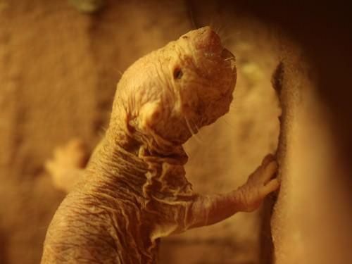 Голый землекоп (лат. Heterocephalus) (англ. Nated mole rats)
