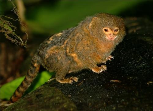 Карликовая игрунка (лат. Cebuella pygmaea) (англ. Pygmy Marmoset)