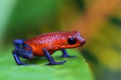Лягушка-древолаз Пумилио или дротиковые лягушки (лат. Dendrobates pumilio) (англ. Poison Dart Frog)