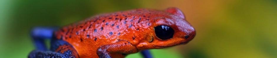 Лягушка-древолаз Пумилио или «дротиковая лягушка» (лат. Dendrobates pumilio)