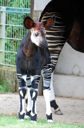 Окапи или «лесной жираф» (лат. Okapia johnstoni) (англ. Okapi)