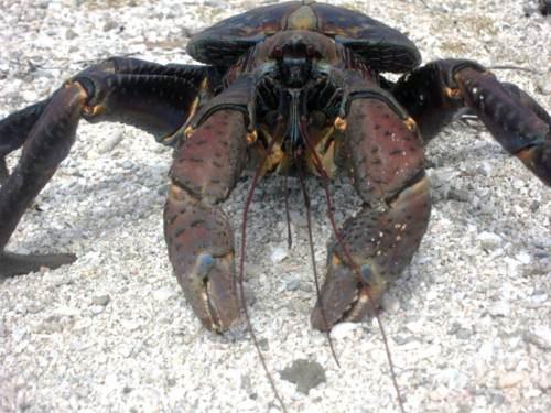 Пальмовый вор или кокосовый краб (лат. Birgus latro) (англ. Coconut crab)
