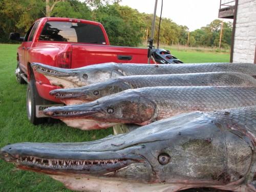 Панцирная щука или рыба-аллигатор (лат. Lepisostedae)