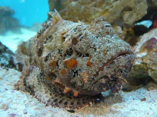 Рыба-камень или бородавчатка (лат. Synanceia verrucosa) (англ. Stonefish)
