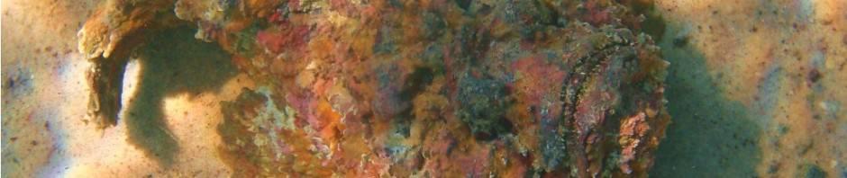 Голубой краб-плавунец (лат. Callinectes sapidus)