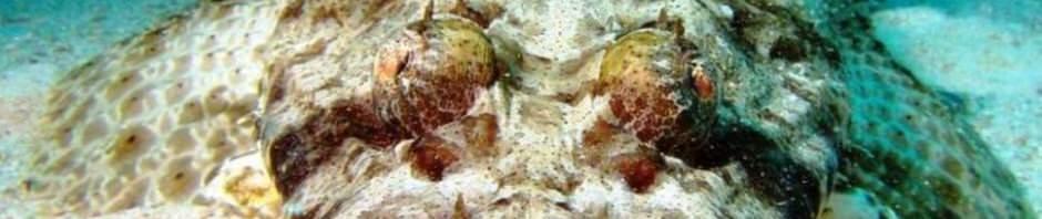 Рыба-крокодил или пятнистый плоскоголов (лат. Papilloculiceps longiceps)