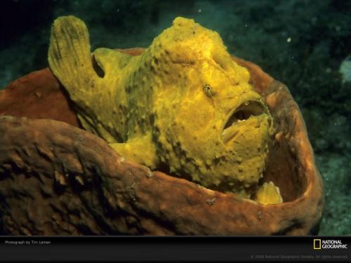 Психоделическая рыба-лягушка (лат. Histiphryne psychedelica) (англ. frogfish)