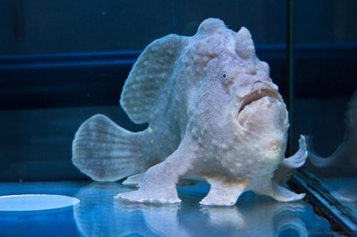 Психоделическая рыба-лягушка (лат. Histiophryne psychedelica) (англ. frogfish)