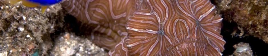Психоделическая рыба-лягушка (лат. Histiophryne psychedelica)