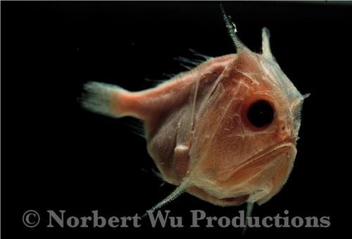 Саблезуб обыкновенный (лат. Anoplogaster cornuta) (англ. Fangtooth fish)