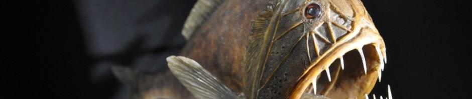 Саблезуб обыкновенный (лат. Anoplogaster cornuta)
