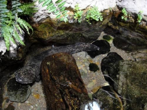 Естественные условия обитания японской саламандры - горные речки