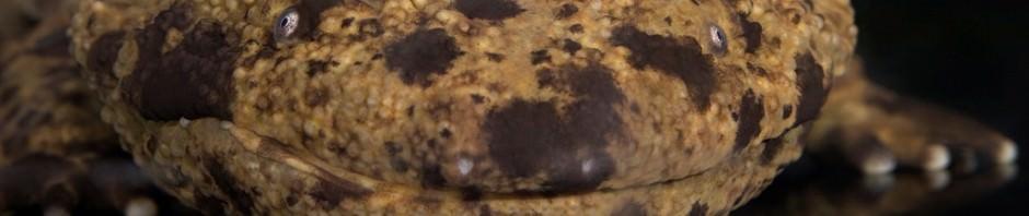 Японская исполинская саламандра (лат. Andrias japonicus)