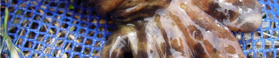Кувшинка «Морская роза» или нимфея (лат. Nymphaea Daubenyana)