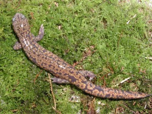 Японская исполинская саламандра (лат. Andrias japonicus) (англ. Japanese Giant Salamander)