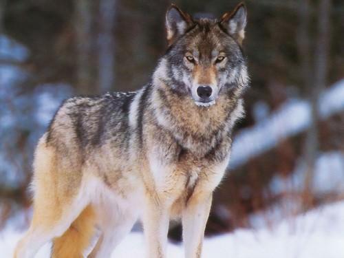 Волчий вой