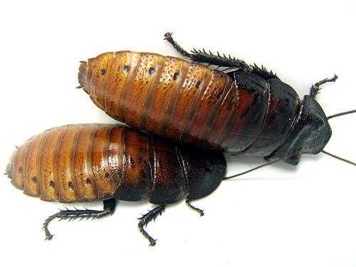 Мадагаскарский шипящий таракан или мадагаскарский гигантский таракан (лат. Gromphadorhina portentosa) (англ. Madagascar hissing cockroach)