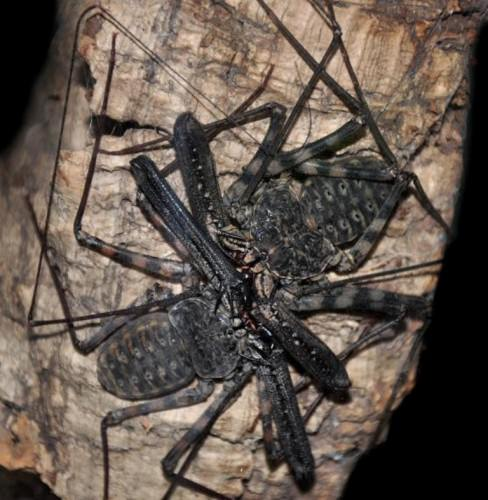 Дамон изменчивый (лат. Damon variegatus)(англ. Tanzanian Tailless Whipscorpion)
