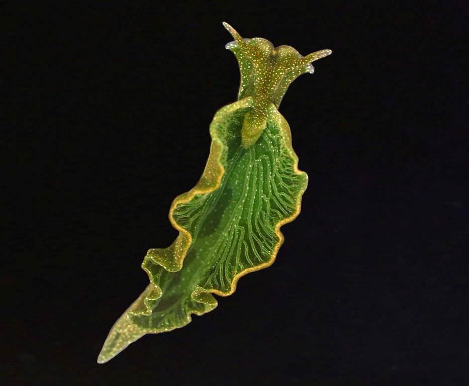 Морской слизень Elysia chlorotica (лат. Elysia chlorotica ... Водоросли Png