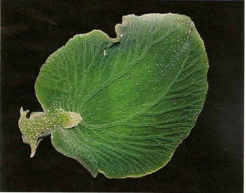 Морской слизень Elysia chlorotica (лат. Elysia chlorotica)