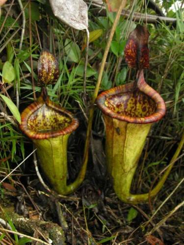 Непентес Аттенборо (лат. Nepenthes attenboroughii)