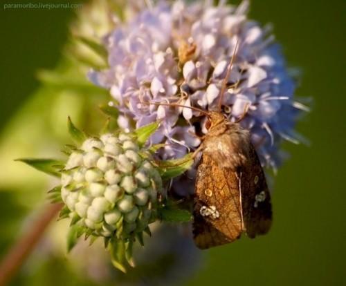 Бабочка-вампир или совка (лат. Calyptra thalictri) (англ. Vampire Moth)