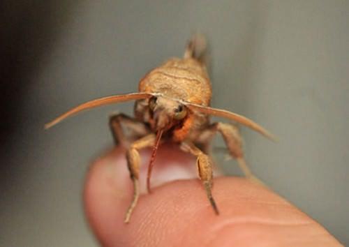 Бабочка-вампир или совка (лат. Calyptra) (англ. Vampire Moth)
