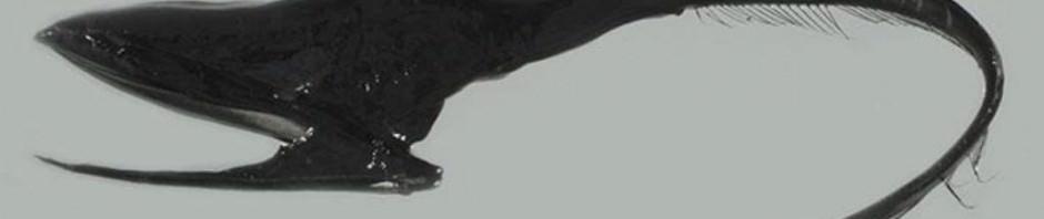 Большерот или рыба-пеликан (лат. Eurypharynx pelecanoides)