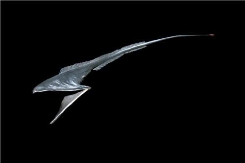 Большерот или рыба-пеликан (лат. Eurypharynx pelecanoides) (англ. Gulper)