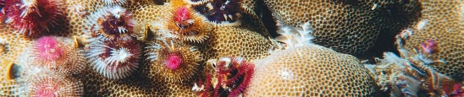 Трубчатый многощетинковый морской червь или червь «новогодняя елка» (лат. Spirobranchus giganteus)