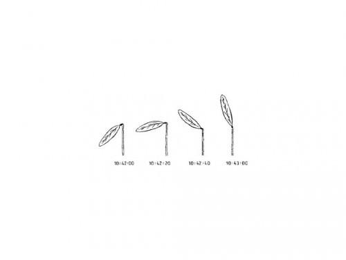 Танцующее растение или растение-телеграф (лат. Codariocalyx Motorius) (англ. Telegraph Plant)