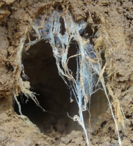 Паук Циклокосмия (лат. Cyclocosmia truncata) (англ. TrapDoor Spider)