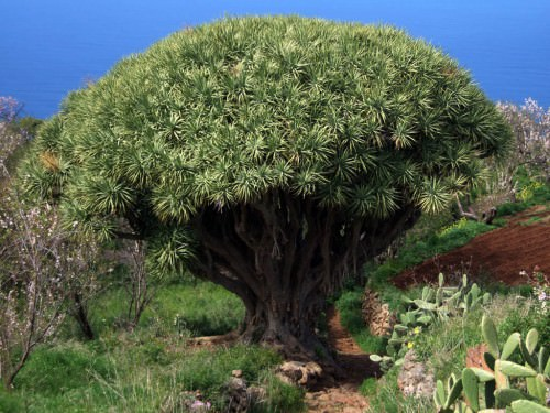 Драконово дерево или драцена драконовая (лат. Dracaena draco)(англ. Dracon's Blood tree)