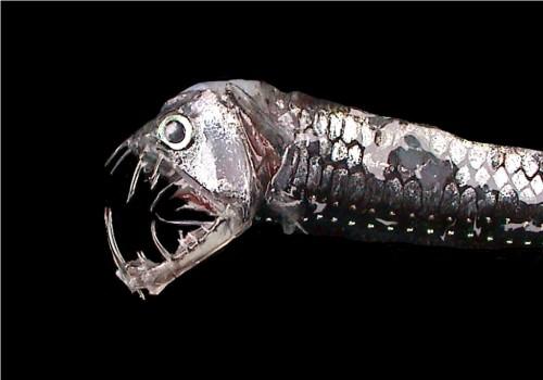 Идиакант или черная рыба-дракон (лат. Idiacanthus)