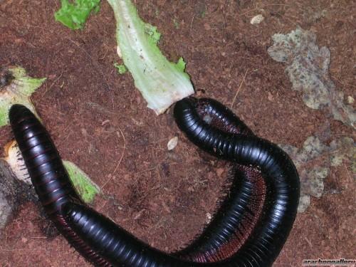 Гигантский черный африканский кивсяк или гигантская африканская многоножка (лат. Archispistreptus gigas)