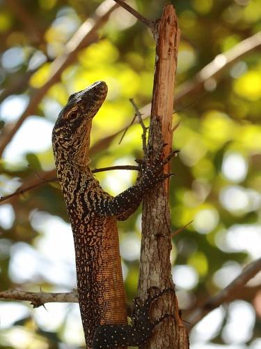 Комодский варан или комодский дракон (лат. Varanus komodoensis) (англ. Komodowarane или Komodo dragons)