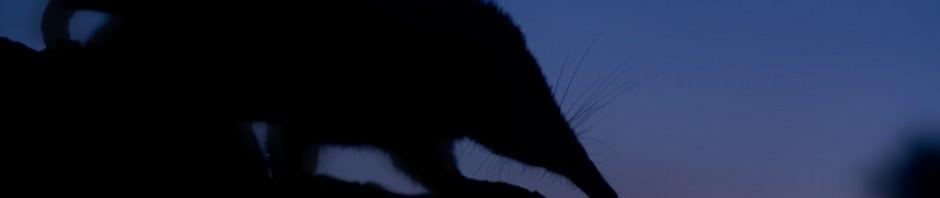 Кубинский щелезуб (лат. Solenodon cubanus) (англ. Cuban solenodon)
