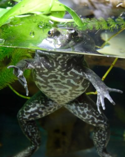 Лягушка-бык или лягушка-вол (лат. Rana catesbeiana)