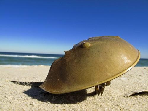 Мечехвост или «краб-подковка» (лат. Xiphosura) (англ. Horseshoe crab)