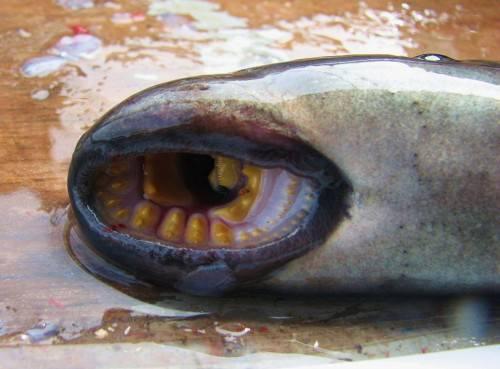 Минога (лат. Petromyzontidae) (англ. Sea Lamprey)