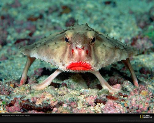 Морской нетопырь (лат. Ogcocephalus) (англ. Batfish)