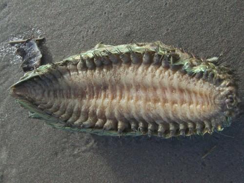 Морская мышь (лат. Aphrodita aculeata) (англ. Sea mouse)