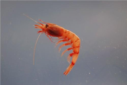 Креветки Systellaspis